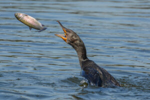 Photo of a Double-crested Cormorant going after a fish