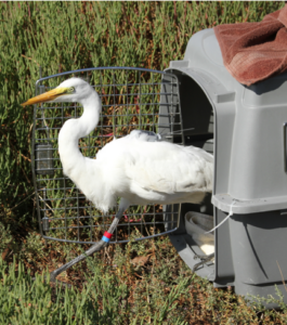 Photo of Great Egret release with special research backpack tracking transmitter by International Bird Rescue