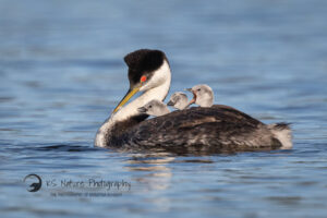 Photo of Western Grebe with chicks at Lake Hodges in San Diego County by KS Nature Photography