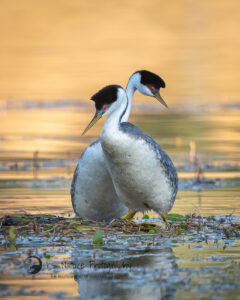Photo of Western Grebes at Lake Hodges in San Diego County by KS Nature Photography