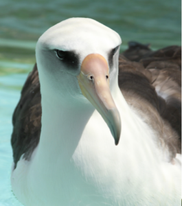 Photo of Laysan Albatross in care at International Bird Rescue